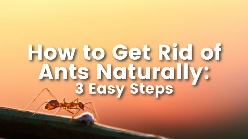 How to Get Rid of Ants Naturally: 4 Easy Steps