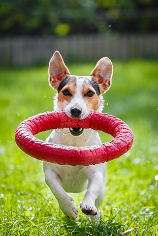 jack-russell-terrier-running-witn-toy-P43CWVR