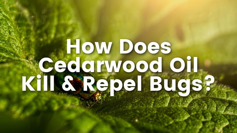 How Does Cedarwood Oil Kill & Repel Bugs?