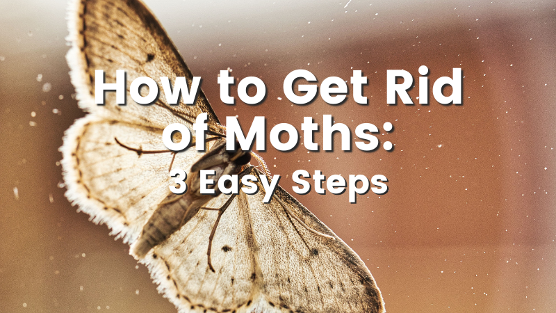 How to Get Rid of Moths: 3 Easy Steps